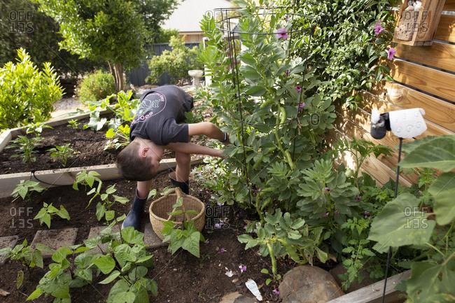 Young boy picking beans from a backyard garden