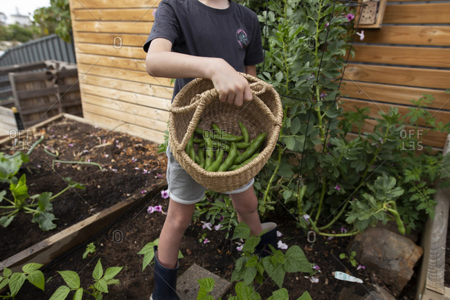 Boy holding basket of fresh picked beans from a backyard garden