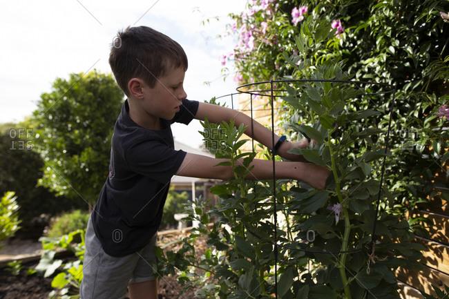Young boy harvesting beans from a backyard garden