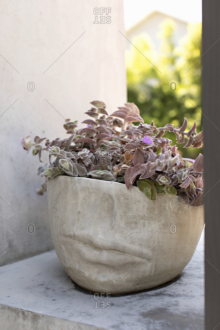 Pale red leafy plant in a stone pot