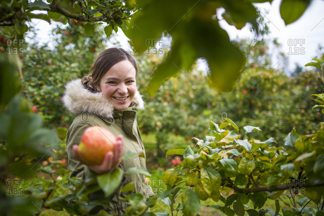 Woman picking apples in an orchard, Abbotsford, British Columbia, Canada