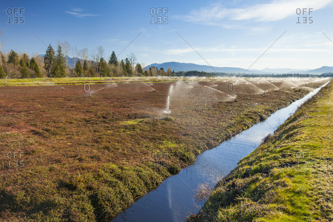 Cranberry fields in Fort Langley, British Columbia, Canada
