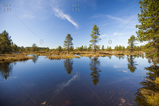 Pine trees growing in bog ecosystem, Fort Langley, British Columbia, Canada