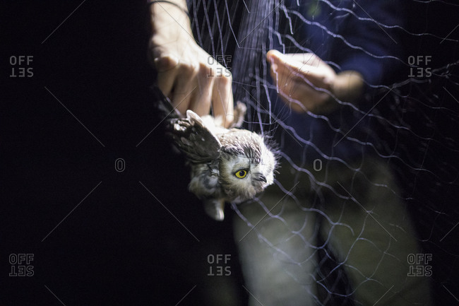 A biologists conduct a  mark and recapture study on the Northern saw-whet owl in British Columbia, Canada.