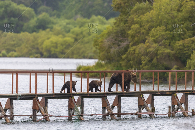 Brown bear with cubs on footbridge, Kurile Lake, Kamchatka Peninsula, Russia