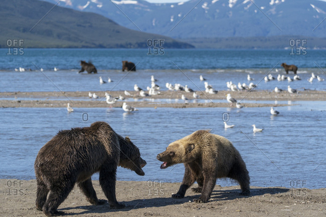 Two brown bears fighting, Kurile Lake, Kamchatka Peninsula, Russia