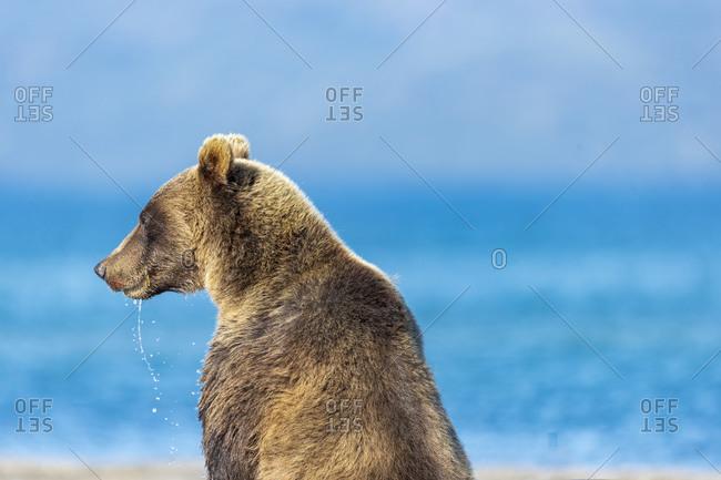 Brown bear on lakeshore, Kurile Lake, Kamchatka Peninsula, Russia