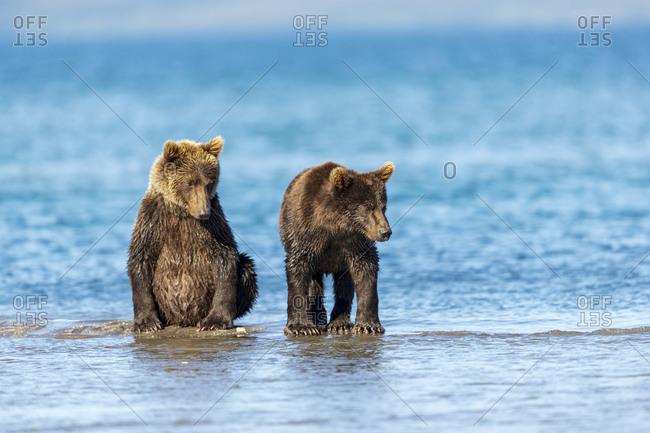 Brown bear cubs, Kurile Lake, Kamchatka Peninsula, Russia