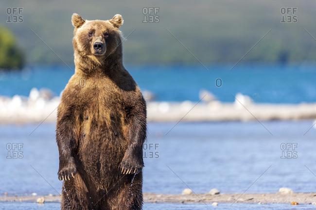 Brown bear lakeshore, Kurile Lake, Kamchatka Peninsula, Russia