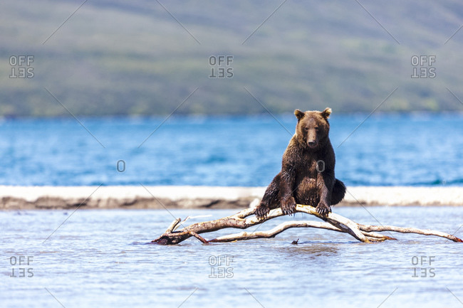 Brown bear Kurile Lake, Kamchatka Peninsula, Russia