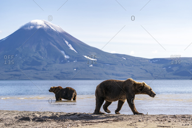 Brown bears, Kurile Lake, Kamchatka Peninsula, Russia
