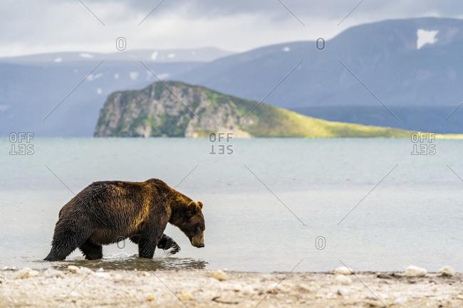 Brown bears, Kurile Lake, Kamchatka Peninsula, Russia