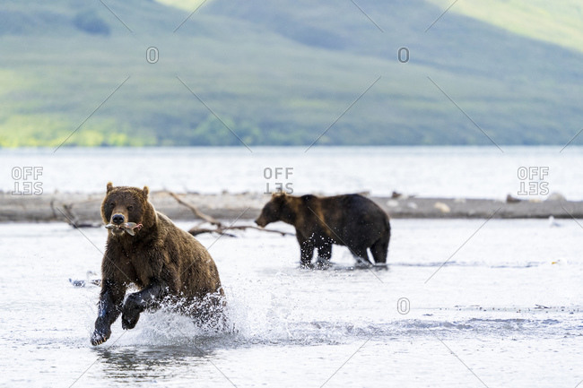 Brown bears fishing, Kurile Lake, Kamchatka Peninsula, Russia