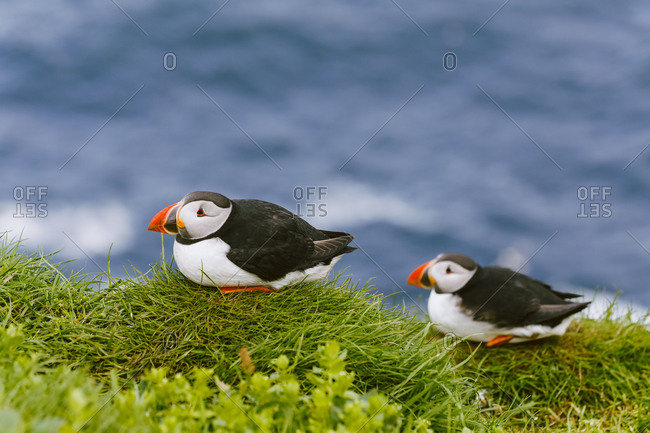 Atlantic puffins (Fratercula arctica), Mykines, Faroe Islands
