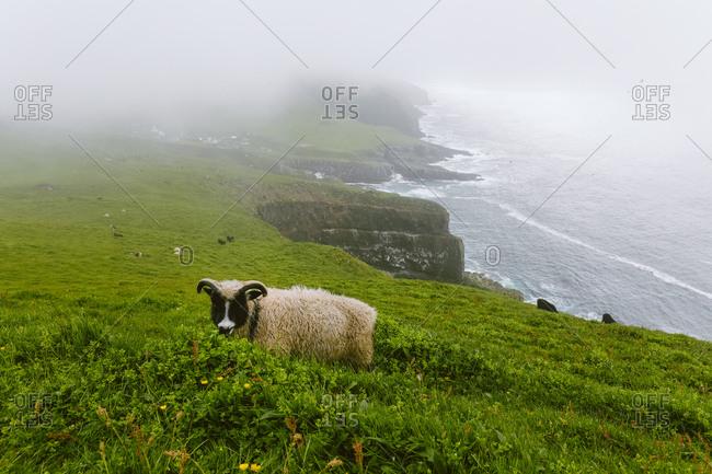 Wild sheep grazing in grass, Mykines, Faroe Islands
