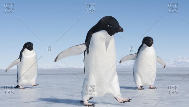 Adelie Penguins in McMurdo Sound Antarctica.