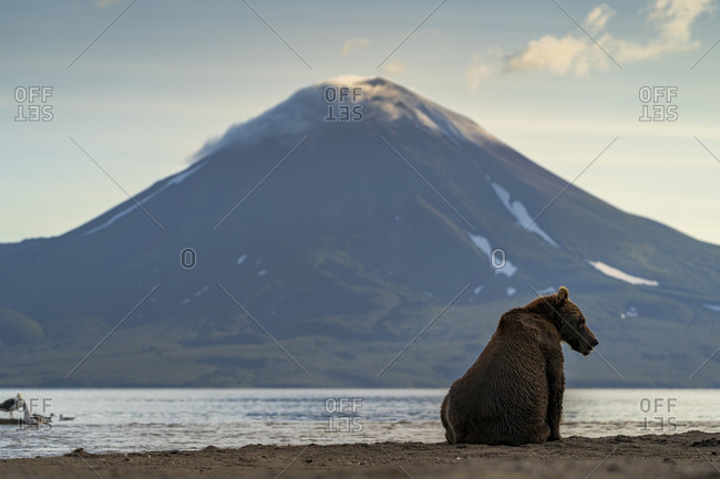 Brown bear (Ursus arctos) on lakeshore, Kurile Lake, Kamchatka Peninsula, Russia