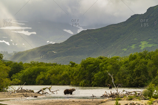 Brown bear  on riverbank, Kurile Lake, Kamchatka Peninsula, Russia