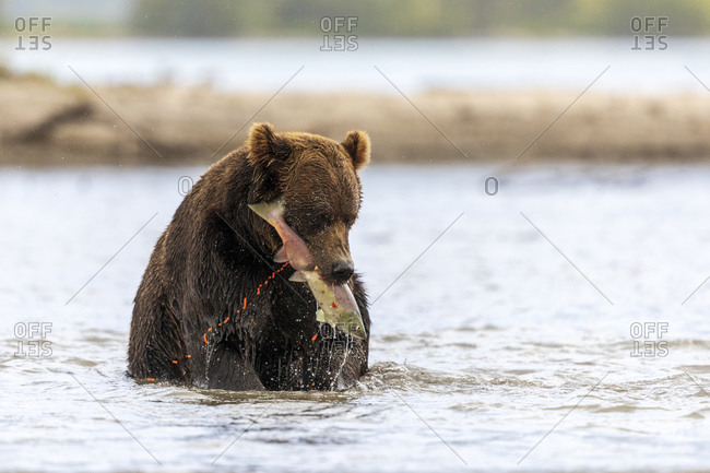 Brown bear with caught salmon, Kurile Lake, Kamchatka Peninsula, Russia