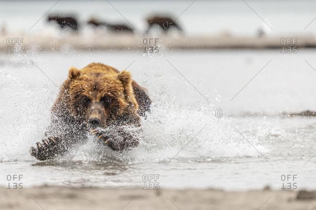 Brown bear with caught salmon, Kurile Lake, Kamchatka Peninsula, Russia