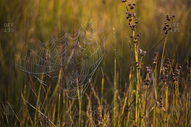 Morning light on dew covered spider web, Connery Pond, New York