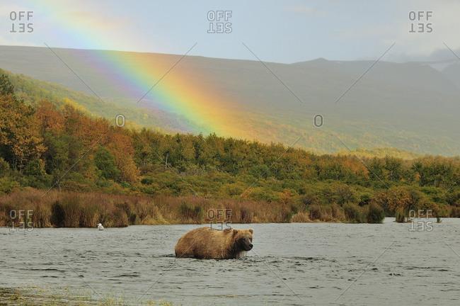 Grizzly bear in river and rainbow, Katmai National Park, Alaska, USA