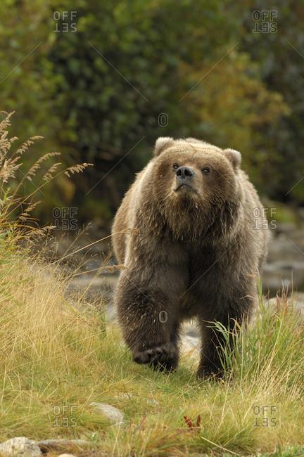 Grizzly bear in Katmai National Park, Alaska, USA