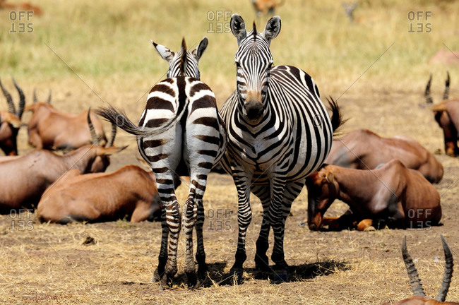 Zebras and antelopes in natural setting