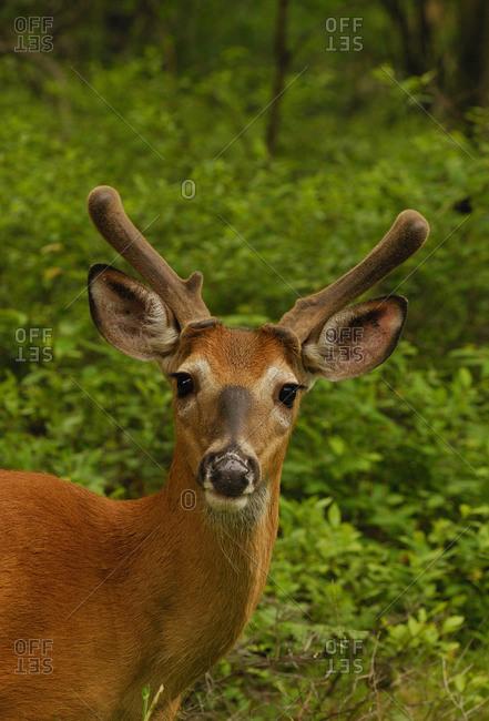 Portrait of white-tailed deer (Odocoileus virginianus) buck, Benton, Pennsylvania, USA