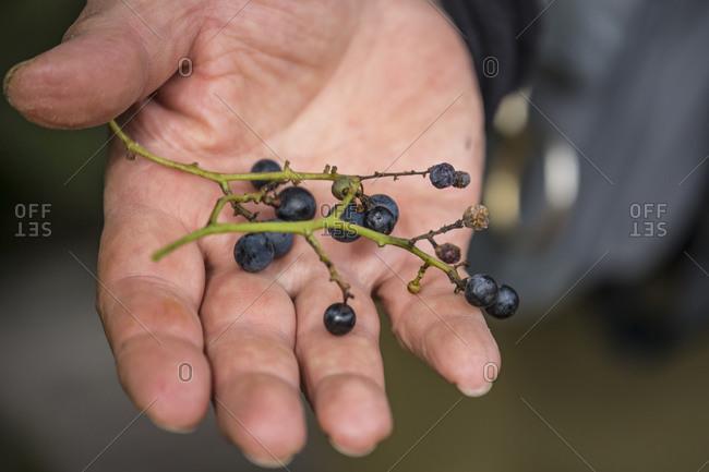 Man holding wild grapes, Lake Akan, Hokkaido, Japan