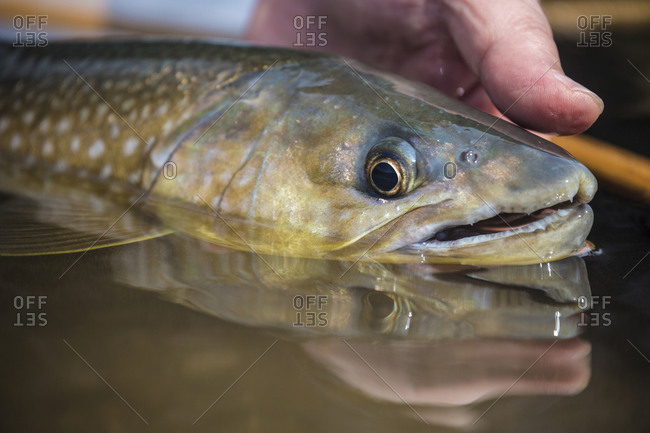 Golden char fish, Lake Akan, Hokkaido, Japan
