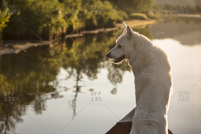 White dogs living in villages in Swedish Lapland. Shown in boat and on lake.