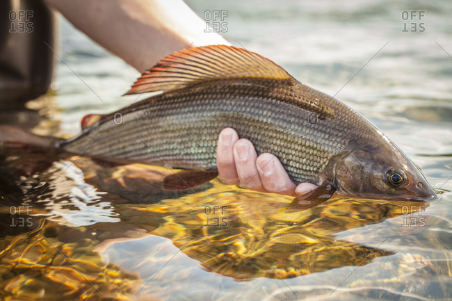 Details of grayling fish caught while fly fishing in Swedish Lapland.