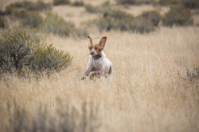 Brittany spaniel runs while upland bird hunting on the plains in Montana.