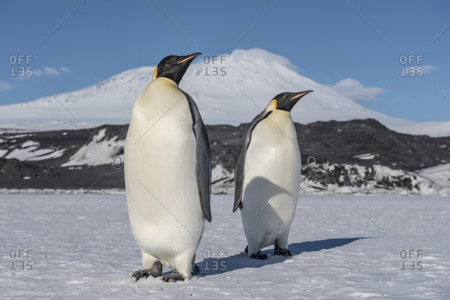 Emperor penguins near Cape Royds on Ross Island, Antarctica