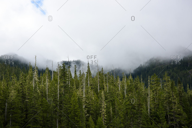 Evergreen treetops in front of a misty backdrop