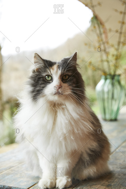 Norwegian forest cat sitting on table outdoors