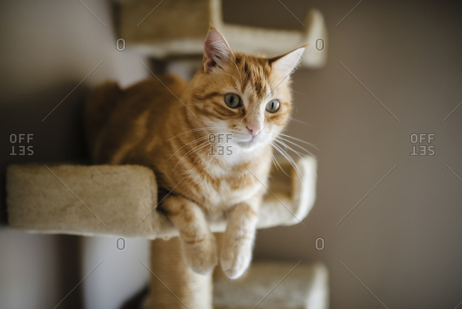 Portrait of tabby cat lying on scratching post watching something