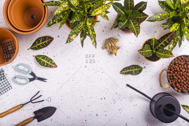 Gardening claw and fork- scissors- plastic frog- watering can and potted fire crotons (Codiaeum variegatum)