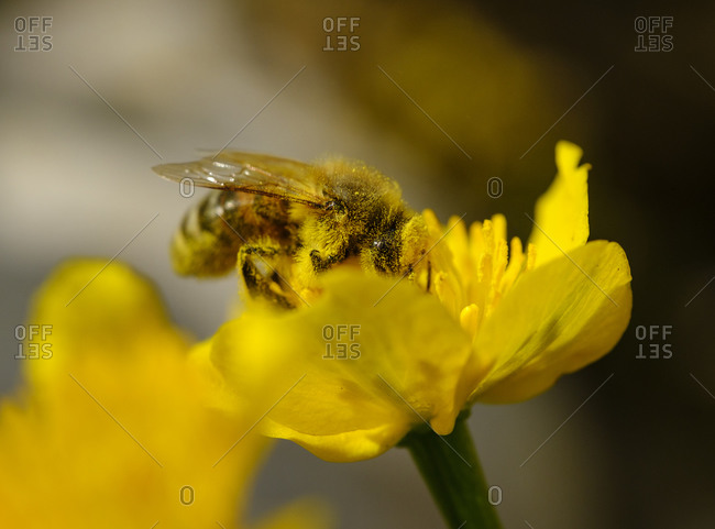 European honey bee (Apis mellifera) feeding on pollen of marsh-marigold (Caltha palustris)