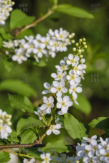 White blossoming branch ofbird cherry (Prunus padus)