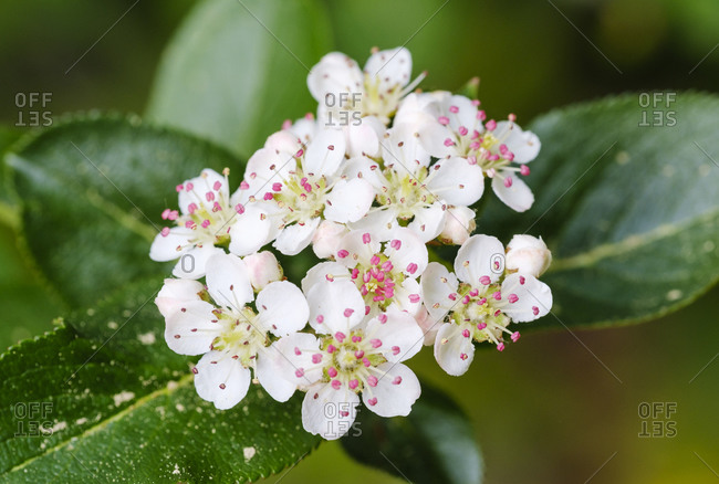 White blossoms of black chokeberry (Aronia melanocarpa)
