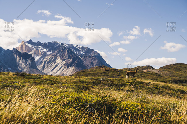 Chile- Lone guanaco (Lama guanicoe)grazing in Torres Del Paine National Park with Cuernos Del Paine in background