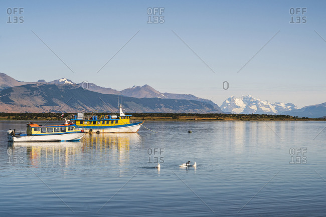 Chile-UltimaEsperanza Province-PuertoNatales- Swans swimming in front of fishing boats