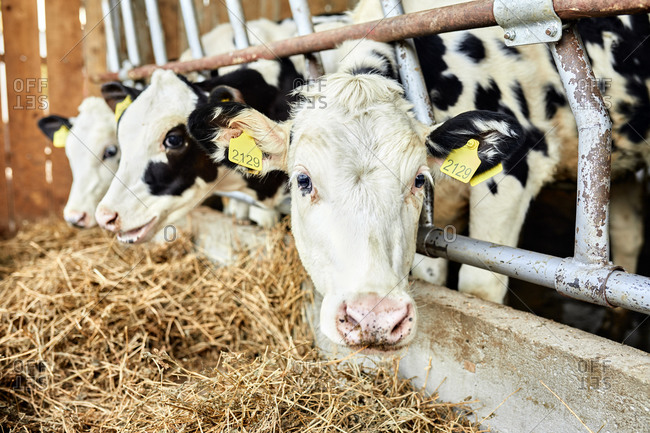 Cattle eating hay in dairy farm