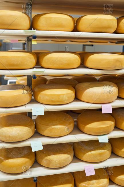 Cheese factory- cheese wheels maturing in shelf