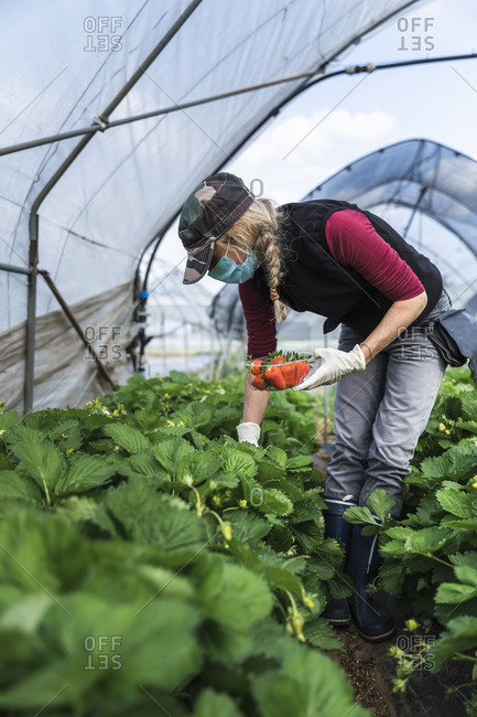 Mature female farmer harvesting organically grown strawberries at greenhouse