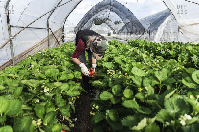 Mature female farmer bending over while harvesting strawberries at greenhouse