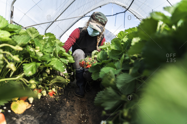 Woman crouching while harvesting organic strawberries at greenhouse
