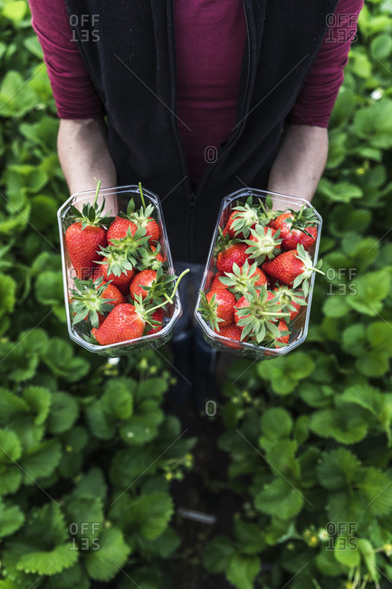 Female farmer holding fresh strawberries in containers at greenhouse